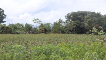 Les prospections dans les champs de manioc: étape essentielle dans la lutte contre les maladies virales du manioc en Afrique de l'ouest et du centre